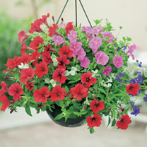 Hanging Basket - Basket Favourites Mix