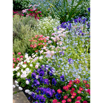 Mixed Spring Bedding Plants - 36