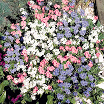 Forget-Me-Not Seeds - Sylva Mix