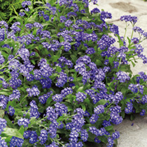 Forget-Me-Not Plants - Sylva Blue