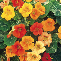 A gorgeous nasturtium producing an abundance of brightly coloured flowers above attractively marbled foliage. Very easily grown, versatile plants, flo