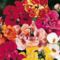 Nemesia Seeds - Carnival Mix