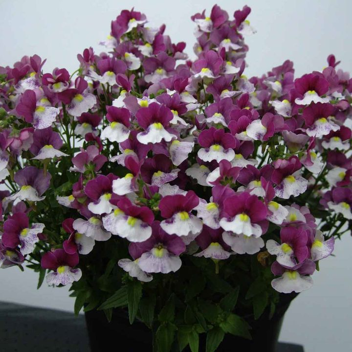 Nemesia Plant - Raspberry & Cream