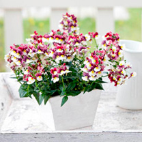 Nemesia Plant - Sunpeddle Painted Rose