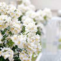 Nemesia Plants - Sunpeddle Romance Aroma Collection