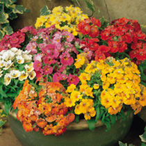 Nemesia Plants - Sundrops Mix