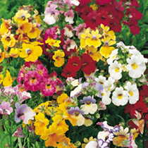 Nemesia Seeds - Tapestry Mix