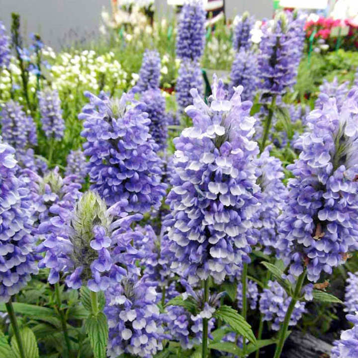 Nepeta Plants - Blue Moon