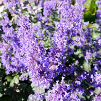Nepeta Plant - Summer Magic