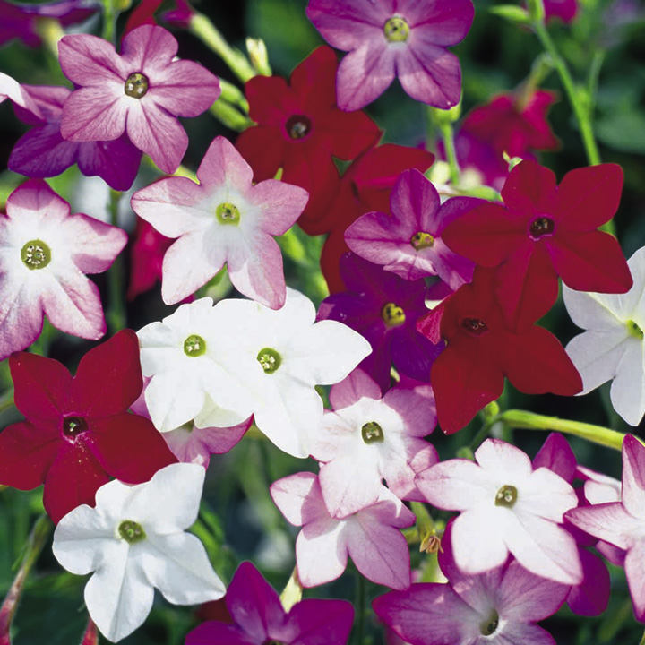 Nicotiana Seeds - F1 Perfume Mix