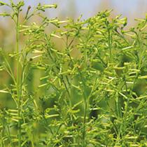 Nicotiana Seeds - Meercat