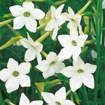Large, perfumed white flowers are produced throughout summer. Flowers like long trumpets. HHA Half hardy annual. Height 90cm (3').