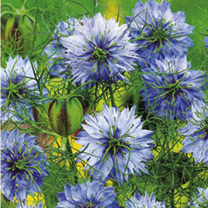 A traditional favourite with clear cornflower-blue blooms. Easy to grow. Pretty, delicate foliage and flowers are followed by ornamental seed pods. RH