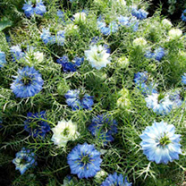 Love-in-a-Mist Seeds - Blue Midget
