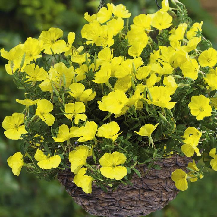 Oenothera Plants - Gold Dream