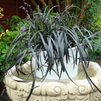 Ophiopogon Plant - Black Beard