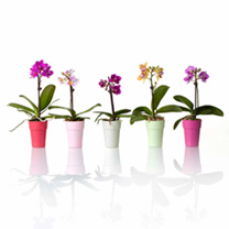 These delightful orchids come in their own decorative 6cm pots smaller than their more common cousins, but equally exquisitely formed! Colours and var