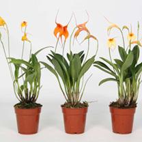 Masdevallia Orchid - 245709