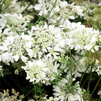 Natural, open plants bearing flat-topped umbels of pure white flowers on long, elegant stems over fine fern-like foliage. Ideal for cutting and bouque