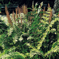 Osmunda regalis Plant