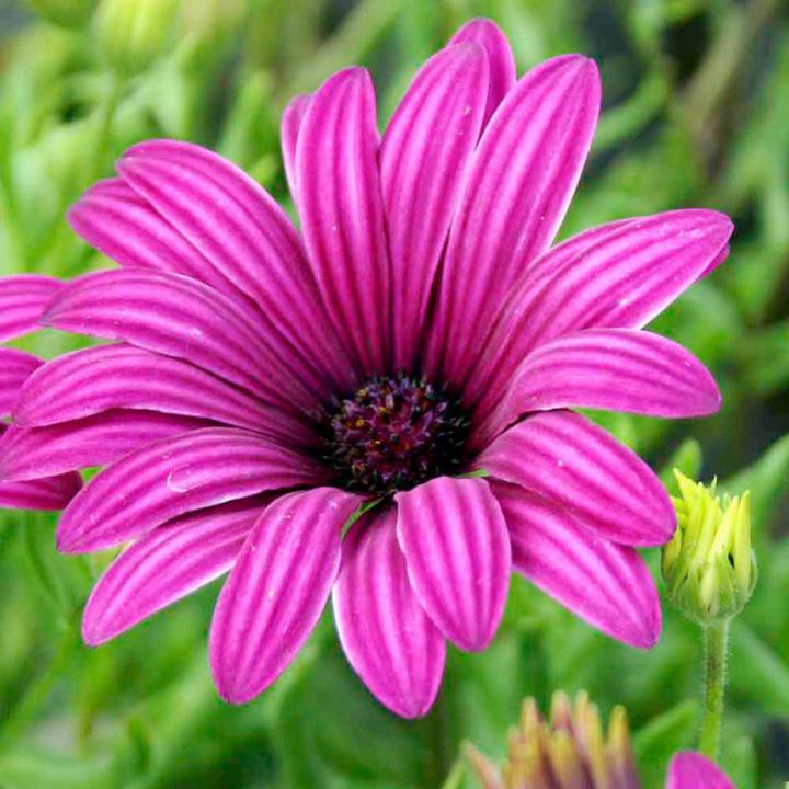 Osteospermum Hardy Plant - Tresco Purple