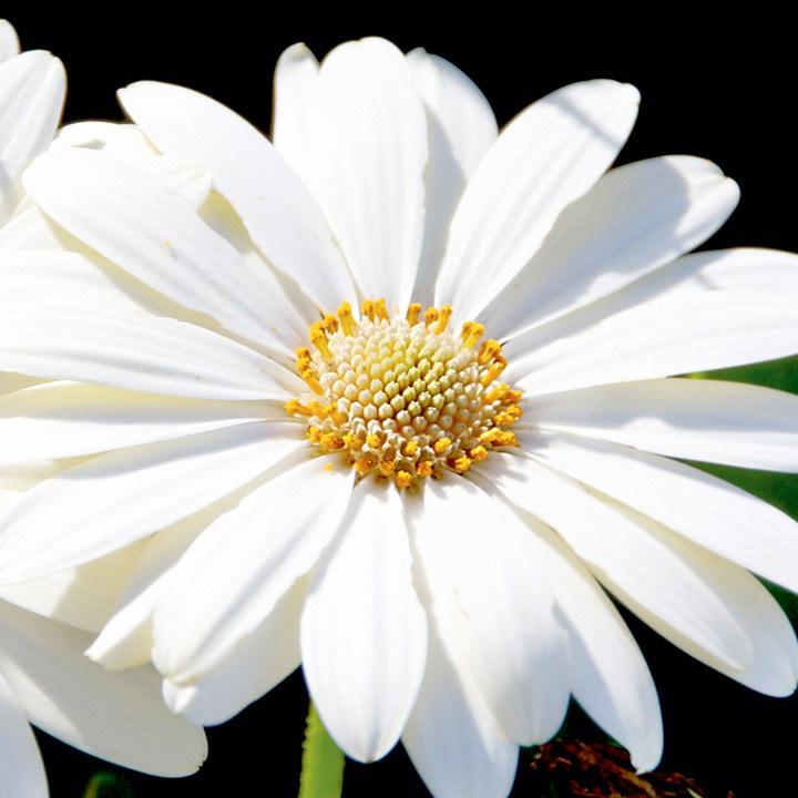 Osteospermum Hardy Plant - Snow Pixie