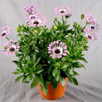 Osteospermum Plant - Pink Spoon