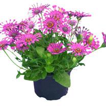 Osteospermum Plant - Purple Spoon