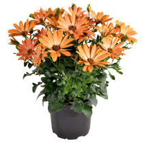 Osteospermum ecklonis Plant - Dalina Tosca