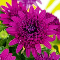 Osteospermum Plant - Erato Double Purple