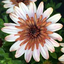 Osteospermum Plant - Erato Double Copper
