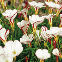 Oxalis Bulbs - Collection