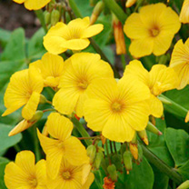 Golden yellow flowers with clover-like foliage. A good frost hardy bedding plant. Height 20-30cm (8-12). HA Hardy annual.