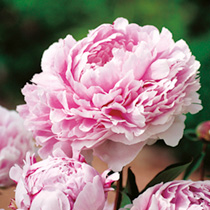 Enormous, fragrant, double rose-pink flowers. Popular since Edwardian times. RHS Award of Garden Merit winner. Flowers June-July. Height 90-100cm (35-