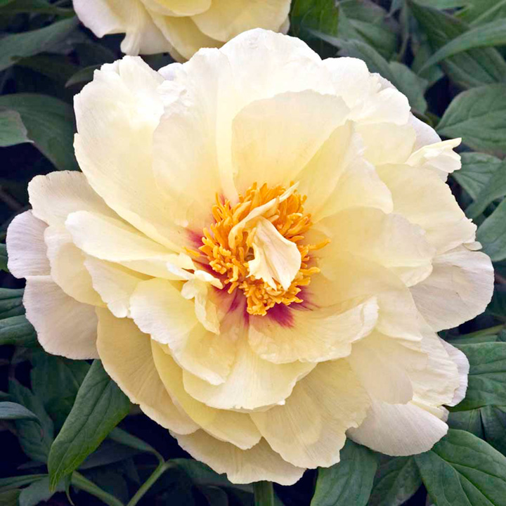 Peony Tree Collection