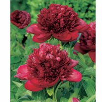 Glossy, long-lasting, ball-shaped blooms, in a deep shade of red, held on stiff stems. Sweet-spicy fragrance! Flowers May-June. Height 80-90cm (31-35)