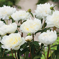 Huge, pure white, fragrant, bowl-shaped flower heads. RHS Award of Garden Merit winner. Flowers June-July. Height 80-90cm (31-35).