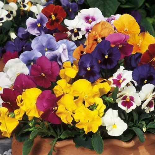 Viola x wittrockiana F1 Suttons Select Mix (Pansy) - 30 Garden Ready Plants