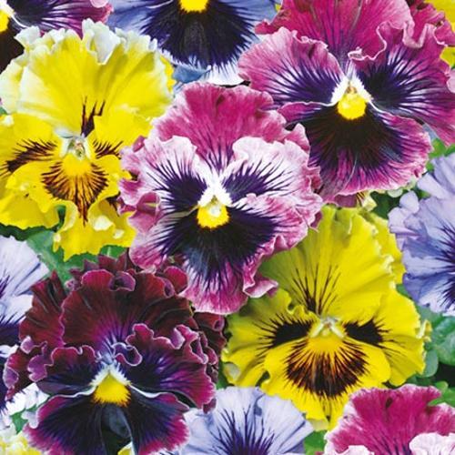 Viola x wittrockiana Frizzle Sizzle (Pansy) - 30 Garden Ready Plants