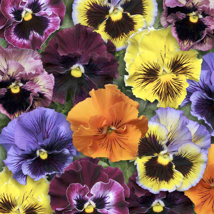 Pansy Seeds - Frizzle Sizzle