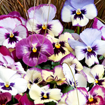 Pansy Plants - Raspberry Floral Days