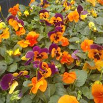 Pansy Plants - Inspire Orange Shades