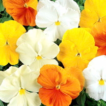 A free-flowering winter pansy producing very large, bright flowers from November to May. Height 20cm (8). HB/HP Hardy biennial/Hardy perennial.