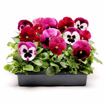 Pansy Seeds - Raspberry Ripple