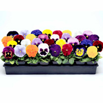 Pansy Seeds - Spring Madness