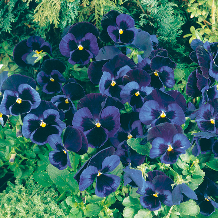 Pansy Plants - Blue Velvet