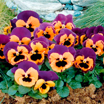 Pansy Plants - Purple & Orange