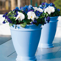Pansy Plants - Ocean Breeze Mix