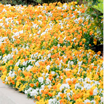 Pansy Plants - Citrus Mix