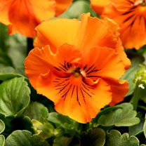 Pansy Seeds - F1 Frizzle Sizzle Orange